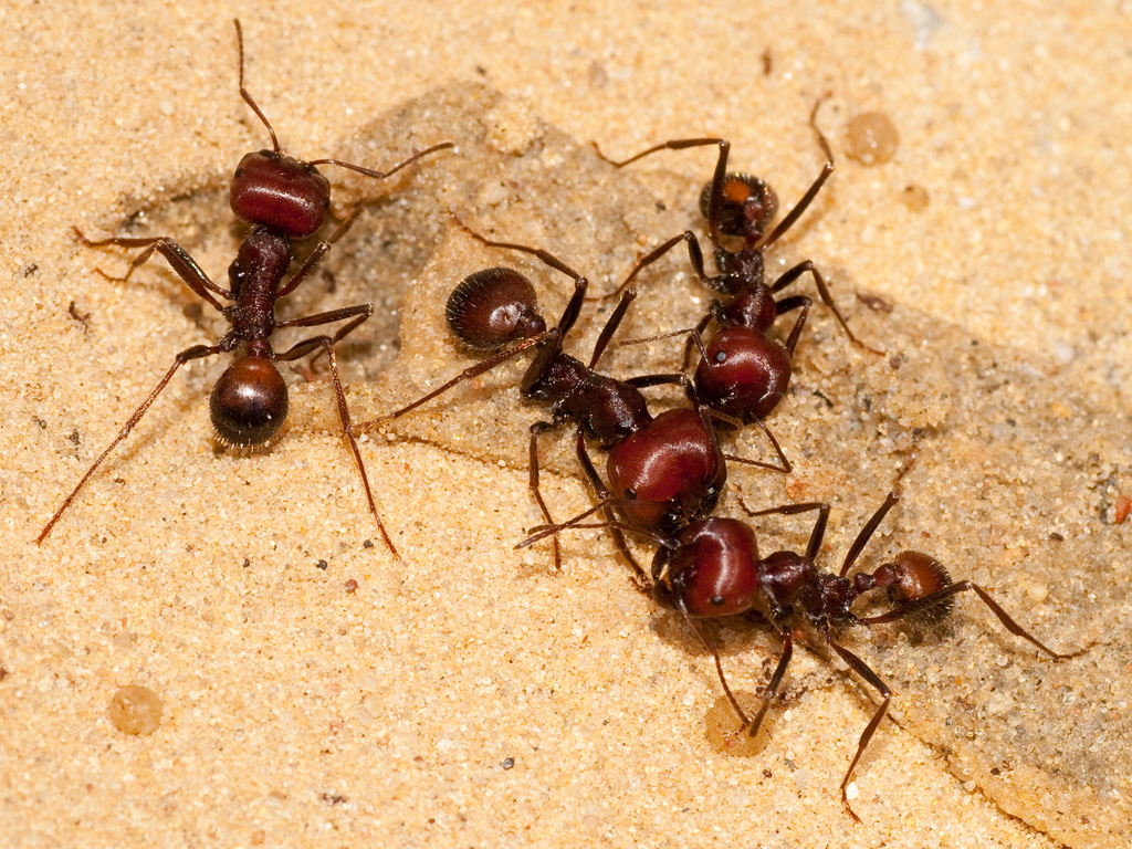 Ants identification pictures - photo#30