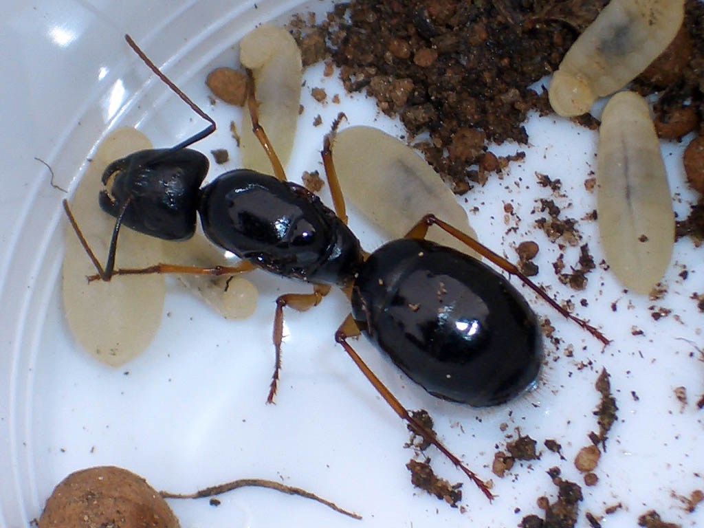 Sugar ant queen picture