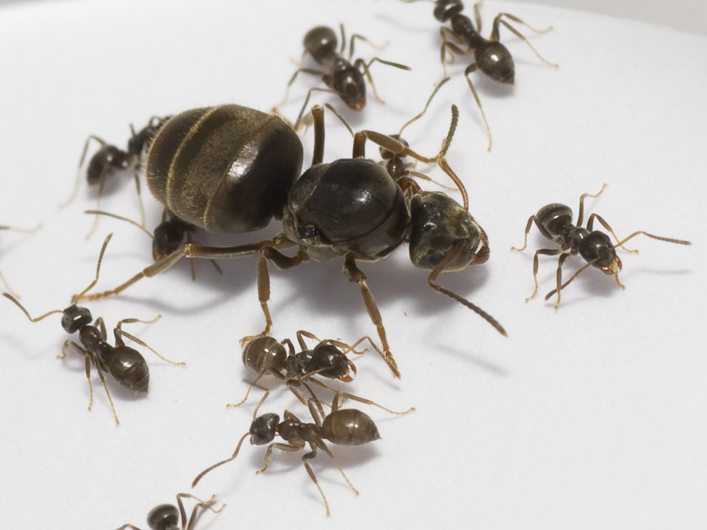 What does a queen carpenter ant look like 10