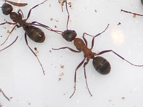 Ameisenkönigin Größe