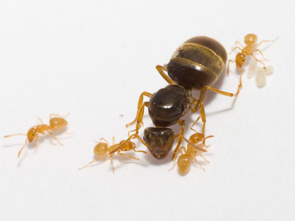 Risultati immagini per lasius flavus queen